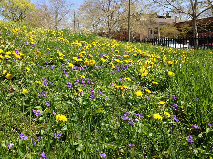Urban hillside covered in violets & dandelions